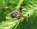 Large wasp? - Trichiosoma triangulum