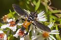 Trichopoda pennipes - female