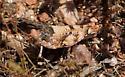 kryptic - Cibolacris parviceps - female