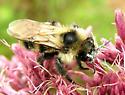Cuckoo Bumblebee - Bombus citrinus - male