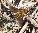 bee fly? Poecilanthrax lucifer? - Poecilanthrax lucifer