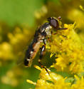 fly at goldenrod - Syritta pipiens