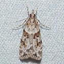 4719 Many-spotted Scoparia - Scoparia biplagialis