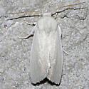 Schinia citrinellus - Leucocnemis nivalis