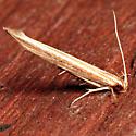 Pyroderces albistrigella
