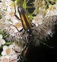 Flower Longhorn - Strangalepta abbreviata