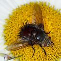 big tachinid - Juriniopsis adusta - female
