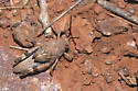 Three-banded Grasshopper - Hadrotettix trifasciatus - male