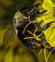 Common Eastern Bumble Bee (Bombus impatiens) - Bombus impatiens