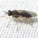 Interesting Fly - Solva pallipes