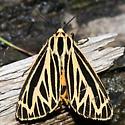 tiger moth - Grammia virguncula