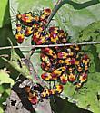 Six-spotted Milkweed Bug (Oncopeltus sexmaculatus) - Oncopeltus sexmaculatus