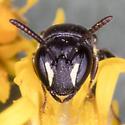 Yellow-faced Bee - Hylaeus mesillae? - Hylaeus mesillae - female