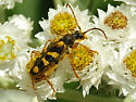 Flower Longhorn - Xestoleptura crassipes