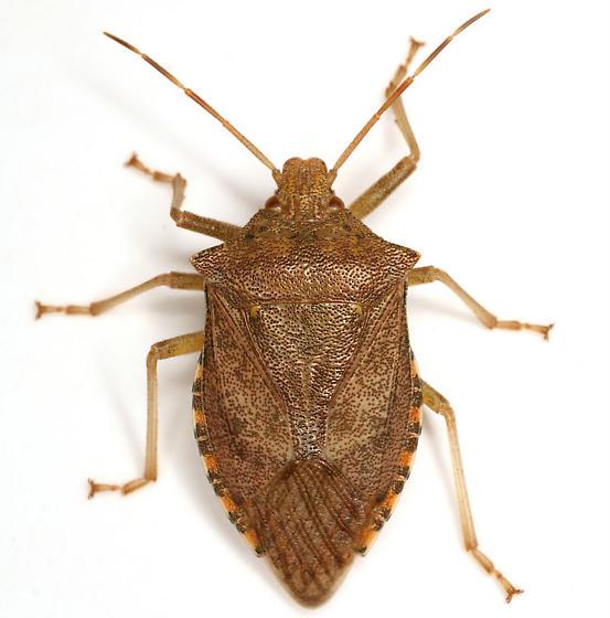 Apoecilus cynicus (Say) - Apoecilus cynicus