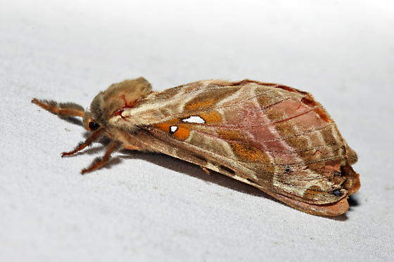 Silver-spotted Ghost Moth - Sthenopis argenteomaculatus