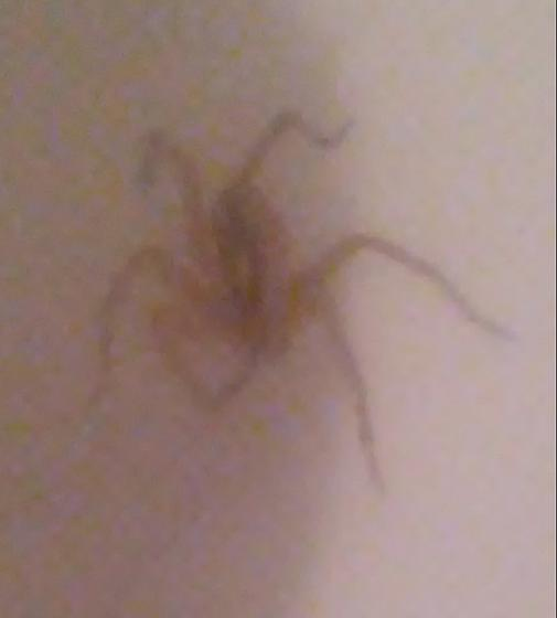 6 legged San Antonio spider