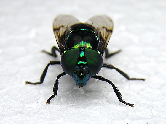 Syrphidae - Eristalis Fly? - Ornidia obesa - female