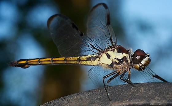 Bar-winged skimmer (Immature male or female?)? - Libellula axilena - female