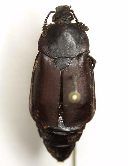 Thanatophilus truncatus (Say) - Thanatophilus truncatus