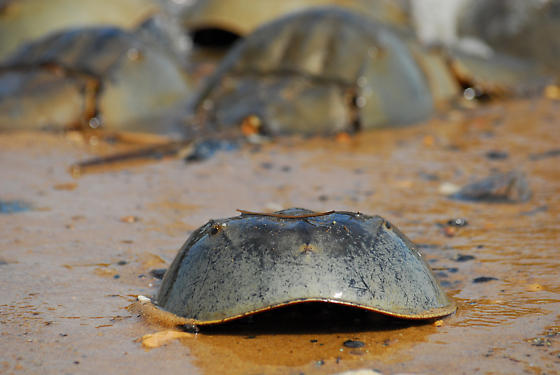 Moving Out - Limulus polyphemus - male