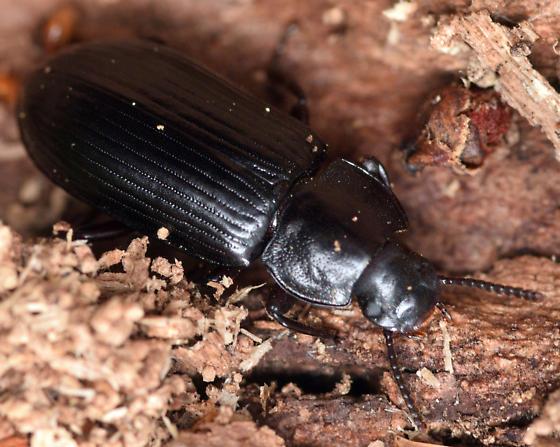darkling beetle - Neatus tenebrioides