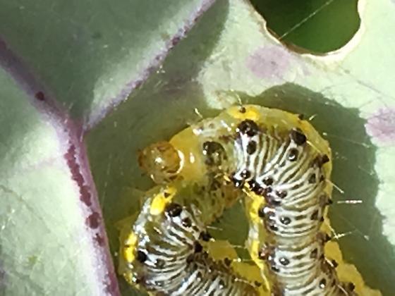 Cross striped caterpillar?  - Evergestis rimosalis