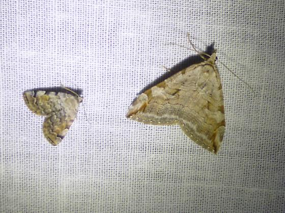 Geometrid moths? - Aplocera plagiata