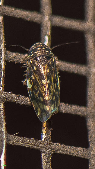 Xestocephalus lunatus for confirmation and record. - Xestocephalus