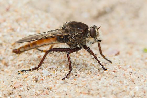 Proctacanthus rufus? - Proctacanthus rufus - male