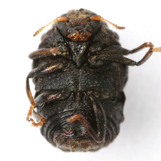Chlamisus quadrilobatus (Schaeffer) - Chlamisus quadrilobatus