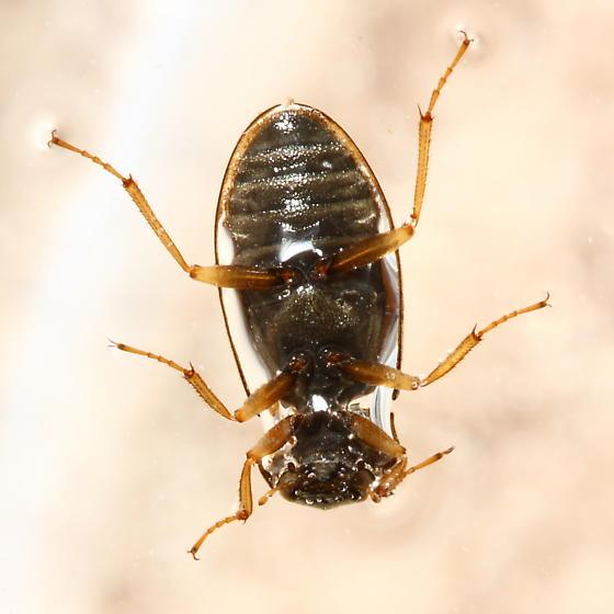 Water Scavenger Beetle - Helophorus grandis