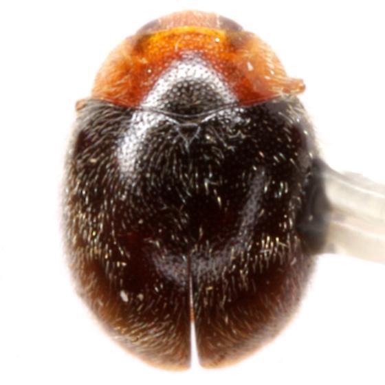Scymnus creperus Mulsant - Scymnus creperus