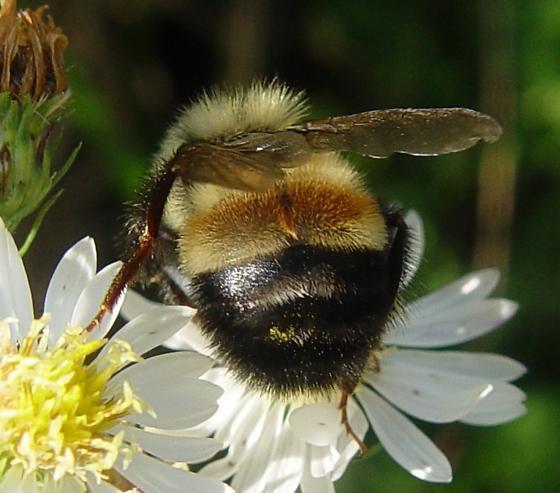 Bumblebee - Bombus affinis - male