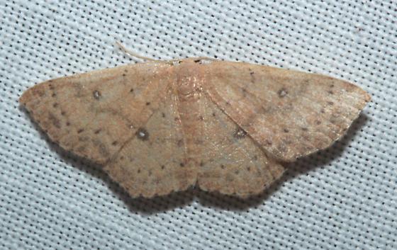 Geometridae - Cyclophora packardi - male