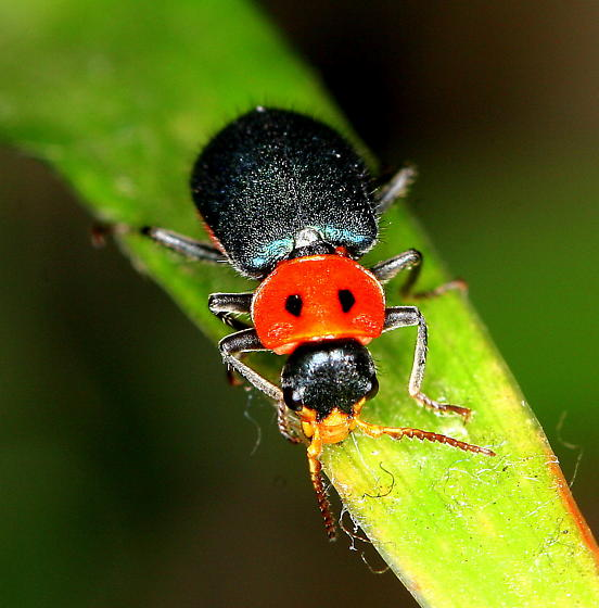 Beetle - Collops bipunctatus - female