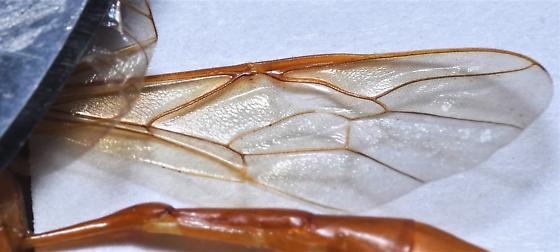 E. glabratus - Enicospilus glabratus
