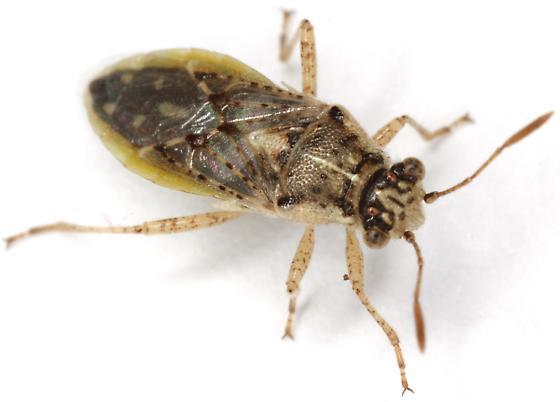 Rhopalinae? - Brachycarenus tigrinus
