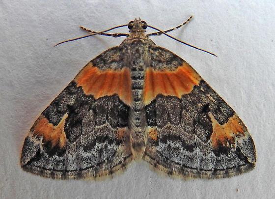 7189 – Dysstroma hersiliata – Orange-barred Carpet - Dysstroma hersiliata