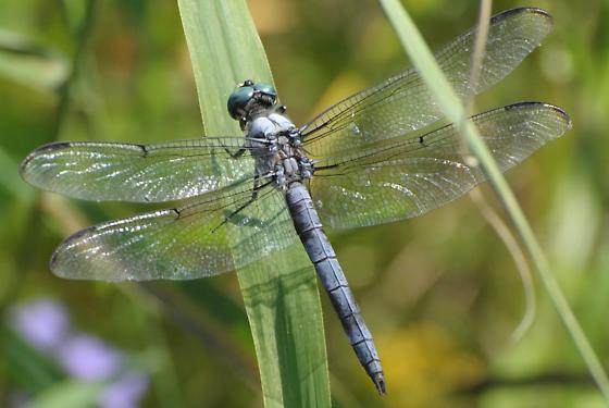 Great Blue Skimmer? - Libellula vibrans - male