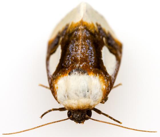 Chrysoecia gladiola? - Chrysoecia gladiola
