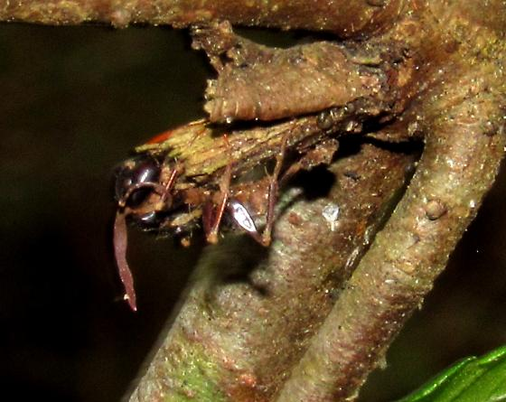 Carpenter ant with Ophiocordyceps - Camponotus - female