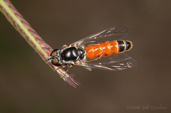 Fly - Amphicosmus arizonensis