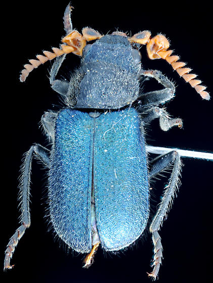 Blue beetle with orange abdomen, dorsal - Collops reflexus - male