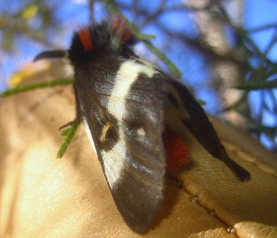 Buck Moth - Hodges#7730  - Hemileuca maia - male