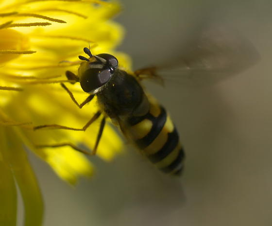 A Fly on a Flower -- Syrphid? - Megasyrphus laxus