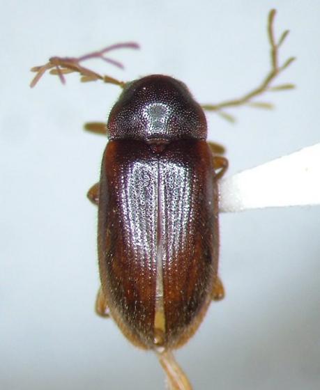 Ptilodactyla nanoderma - male