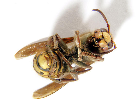 Vespa crabro/European Hornet. Female-as indicated by wiki article at http://en.wikipedia.org/wiki/European_hornet - Vespa crabro - female