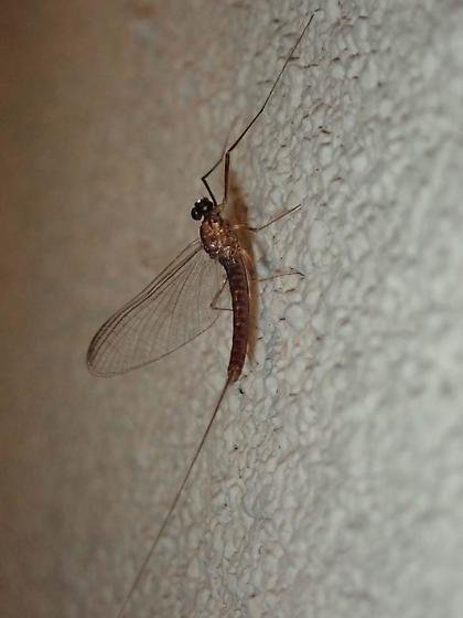 Washington Mayfly