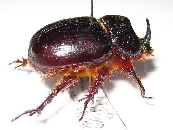 Rhinocerus Beetle - Xyloryctes jamaicensis - male